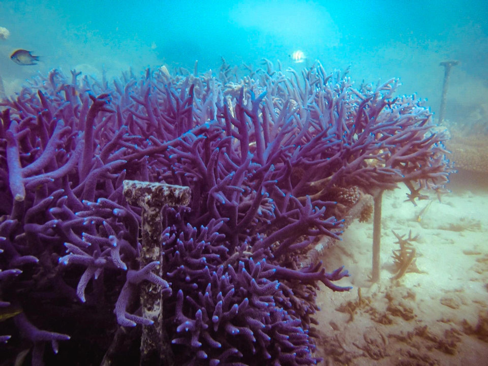 ADE Fiji Corals planted on racks 2 years after planting